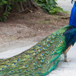 Peacock walking away — Stock Photo