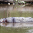 Hippopotamus napping — Stock Photo