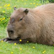 Capybara sitting — Stock Photo