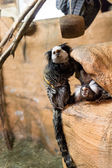 Some marmosets playing — Stock Photo