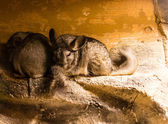 Some chinchillas — Stock Photo
