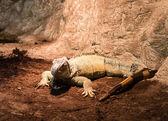 Gekko lagarto — Foto de Stock