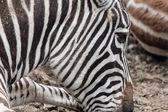 крупный план зебра в профиле — Стоковое фото