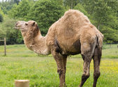 Dromedary camel — Stock Photo