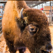 Staring bison in enclosure — Stock Photo