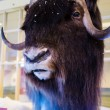 Stock Photo: Musk ox in winter display