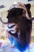 Musk ox in winter display — Stock Photo