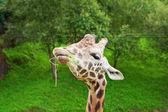 Girafa — Foto Stock
