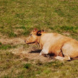 Small brown cow resting in grass — Stock Photo