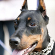 Stock Photo: Young doberman