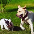 Two dogs running — Stock Photo