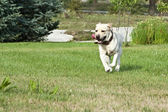 Retriever running — Stock Photo