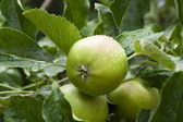 Green Apple with water drops — Stock Photo