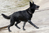 Black Dog Runing Out Of Water — Stock Photo