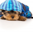 Portrait of Yorkshire terrier in clothes — Stock Photo