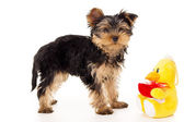 Yorkshire terrier and soft toy — Stock Photo