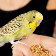 Parrot eats, sitting on a woman's hand — Stock Photo