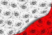 Many roses, black and white color — Stock Photo