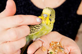 Parrot sitting on a woman's hand — Stock Photo