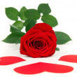 Rose with three hearts — Stock Photo