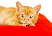 Red cat lies on a pillow — Stock Photo