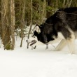 A dog in the woods in winter — Stock Photo