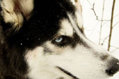 Close-up of Siberian Husky — Stockfoto