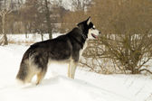 Siberian Laika in winter nature — Stock Photo