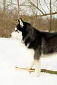 Siberian Laika in winter — Stock Photo