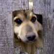 Stock Photo: Dog in village behind fence