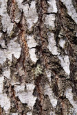 Background, bark, birch — Stock Photo