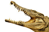 Crocodile with an open mouth — Stock Photo