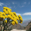 Tansy - mountain flower close-up on a background of mountains — Stock Photo
