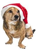 Christmas dog — Стоковое фото