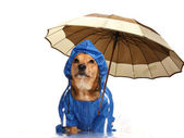 Rain dog — Stock Photo
