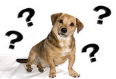 Dog puzzled — Stock Photo