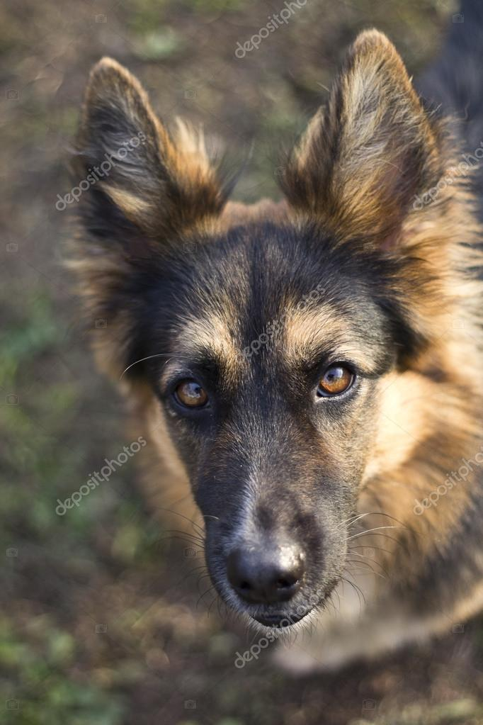 a portrait of German Shepherd  — Stock Photo #15804671