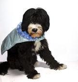 Prince Charming dog — Stock Photo
