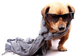 Dog and scarf — Stock Photo