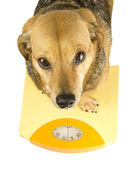 A dog weigh — Stock Photo