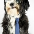 Royalty-Free Stock Photo: Businessdog