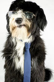 Businessdog — Stock Photo