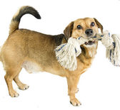 Dog and rope — Stock Photo