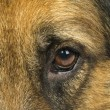Dog eye — Stock Photo