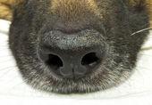 Dog nose — Stock Photo