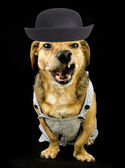 Angry dachshund — Stock Photo