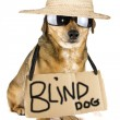 Stock Photo: Blind dog