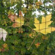 Maple leaves on golf nets — Stock Photo
