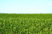 Field of soybean — Stock Photo