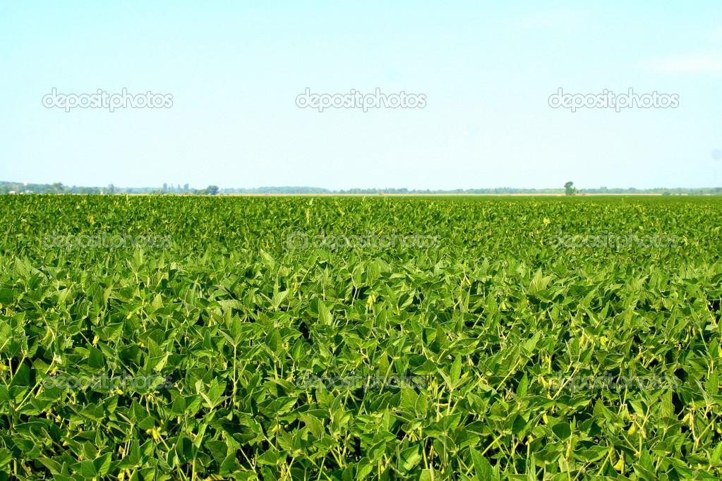 фото поле с соей